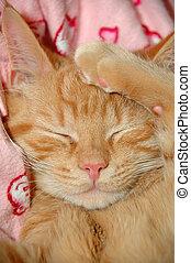 sömnig, söt, kattunge