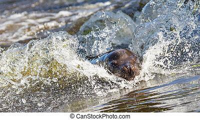 sörényes fóka, a vízben