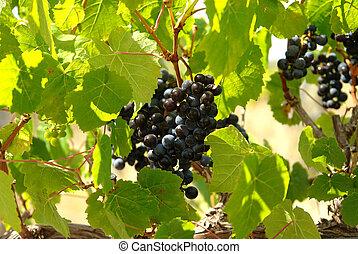 sötét, closeup, szőlő