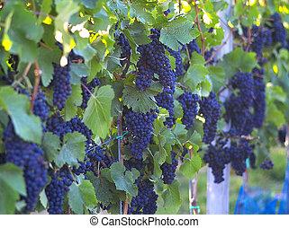 sötét, izzó, szőlő, bor