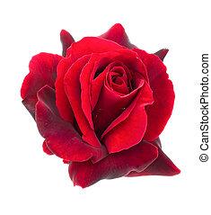 sötét, piros rózsa, képben látható, egy, white háttér