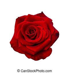 sötét, rózsa, piros