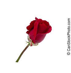 sötét, rózsa, white háttér
