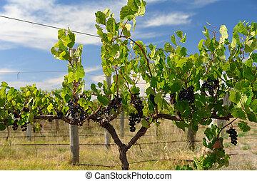 sötét, szőlőtőke, szőlő