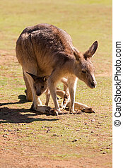 söt, australien, känguru, tasmanien, påse, känguruunge