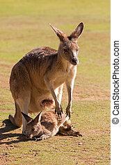 söt, australien, känguru, utanför, tasmanien, påse, ...