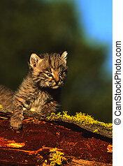 söt, baby, bobcat