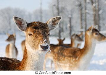 söt, hjort, in, vinter