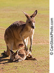 söt, känguru, med, känguruunge, utanför, påse, in,...