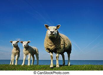 söt, lamm, in, fjäder