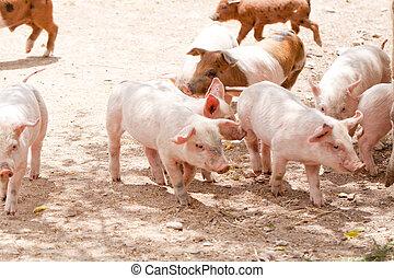 söt, litet, gris, griskulting, utomhus, in, sommar
