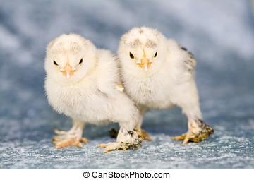 söt, litet, kycklingarna
