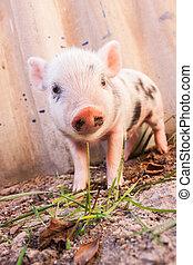 söt, närbild, organisk, griskulting, lerig, spring, farm.,...