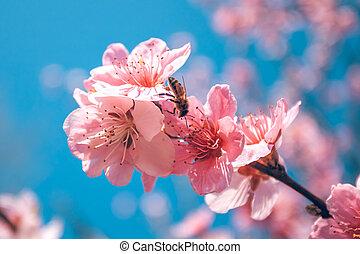 söt, persika, blomstringar, in, tidigt, fjäder, bin, mat