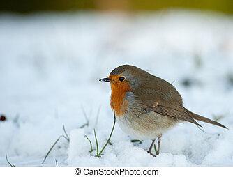 söt, rödhakesångare, in, vinter