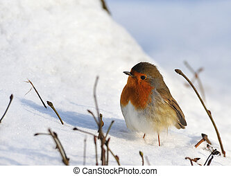 söt, rödhakesångare, på, snö, in, vinter