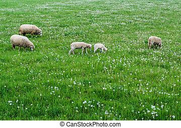 söt, sheep, familj