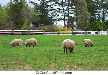 söt, sheep