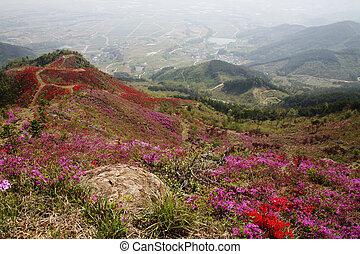 süden, berge, korea, azaleen, schöne