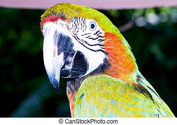 Sügér, színpompás, madár, Papagáj, ülés