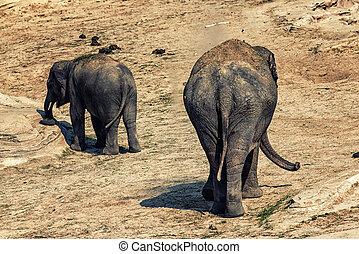 słoń, i, łydka, tylny koniec