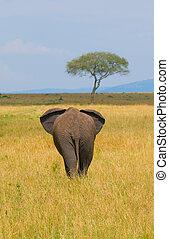 słoń, tylny prospekt