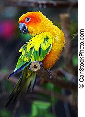 słońce conure, papuga, na, niejaki, drzewo gałąź