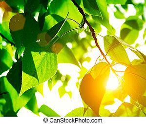 słońce, liście, zielony, promień