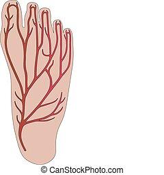 słojowanie, osoba, stopa