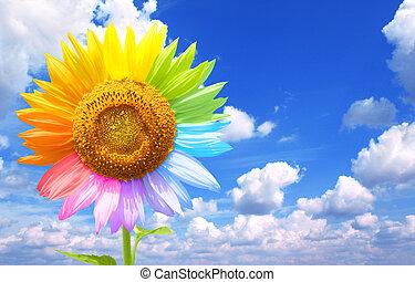 słonecznik, barwiony, w, różny, kolor