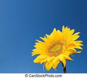słonecznik, na, głęboki, błękitne niebo, tło