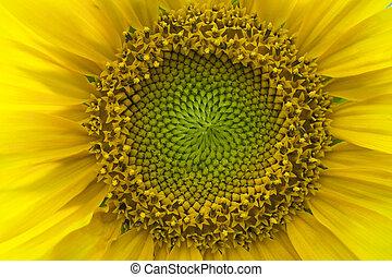 słonecznik, wspaniały