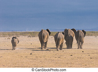 słonie, amboseli, park, prospekt, krajowy, tylny