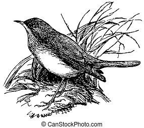 słowik, drozd, ptak