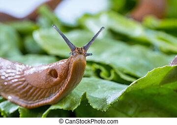 sałata liść, ślimak