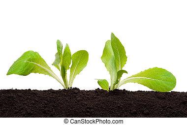sałata, sadzonka, w, gleba