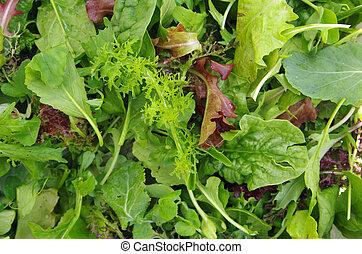 sałatkowe ziele, zgromadzony, pole, closeup, mieszany, świeży, prospekt