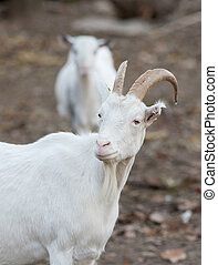 Saanen goat on the farm