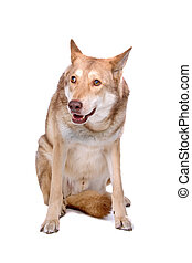 saarloos wolf hound in front of a white background