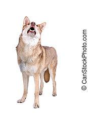 saarloos wolf hound