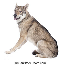Saarloos wolfhound isolated