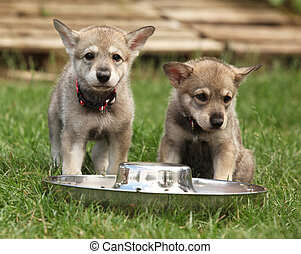 Saarloos wolfhound puppy with bowl