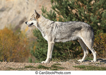 Saarloos Wolfhound standing on the rock