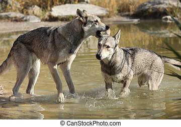 Saarloos Wolhound playing in water
