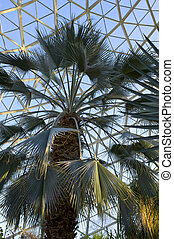 Sabal Palmetto in Conservatory
