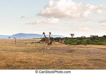 sabana, áfrica, grupo, jirafas