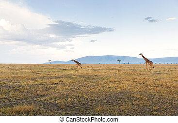 sabana, áfrica, jirafas