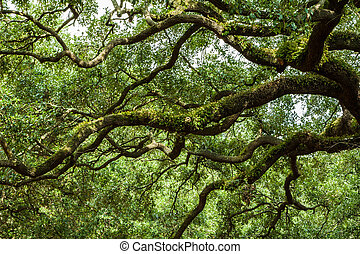 sabana, georgia, vivo, roble, árboles, en, un, cuadrado