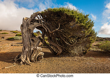 El arbol mas representativo de la isla del Hierro, en Canarias, Espa?a