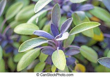 sabio, planta medicinal